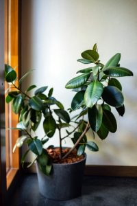 Rubber plant pictured. Plants like this ficus help clean indoor air. So does air duct cleaning